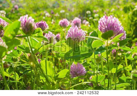 Summer Landscape With Flowers Of Clover Lit By Soft Sunlight At The Summer Meadow. Closeup Of Summer
