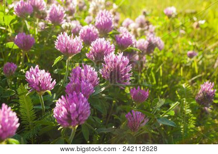 Spring Pink Flowers Of Clover Blooming In The Spring Field And Lit By Warm Sunlight - Spring Sunset