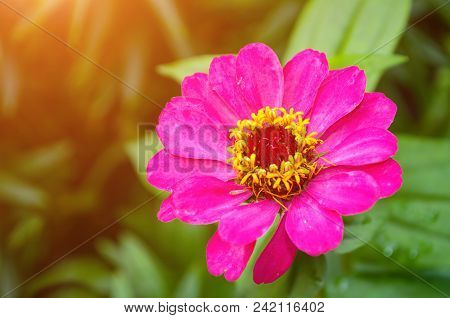 Zinnia Flower, Closeup View Of Sinnia Summer Flower In Summer Bloom. Flower Background With Summer Z