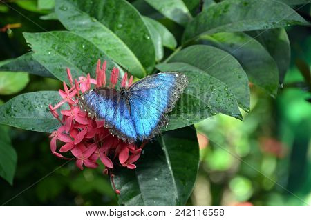 Blue Monarch Butterfly On A Pink Flower