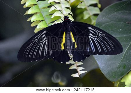 Black And White Butterfly Lands On A Fern