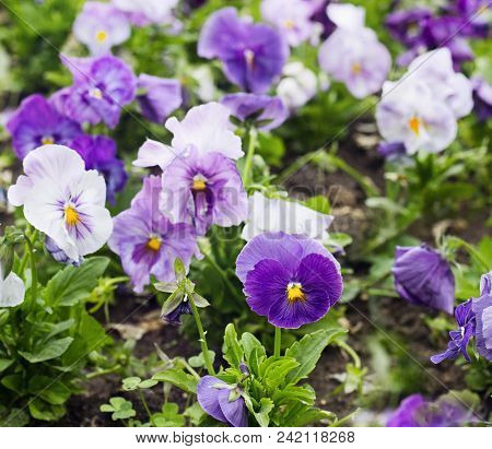 Flowerbed Of Violet And White Viola Tricolor Or Kiss-me-quick (heart-ease Flowers) In Summer, Beauty