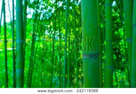 Beautiful Bamboo Green Fresh Forest Branches. Asian Nature, Japanese Jungle, Bamboo Trees Stems On T