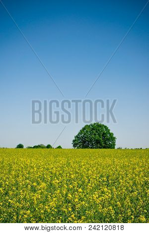 Green Round Tree Behind Field Full Of Rapeseed Plants