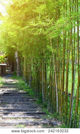 Bamboo Planting As A Natural Fence Under Sun Light