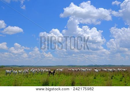 Nice Herd Of Free Range Cows Cattle On Pasture, Paraguay, South America
