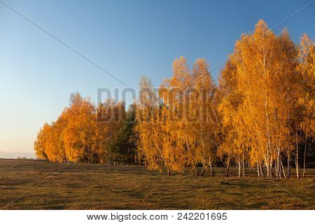 White Birch Trees In Autumn With Golden Leaves Against Clear Blue Sky