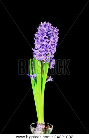 Hyacinth flower in purple colour in growing glass on black background