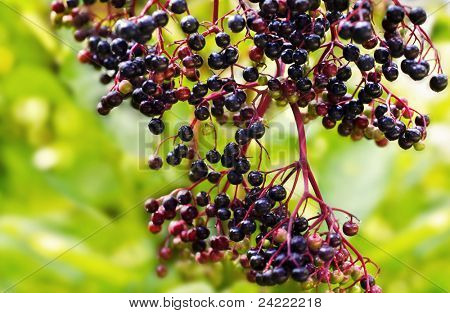 Twig of elderberry, outdoors