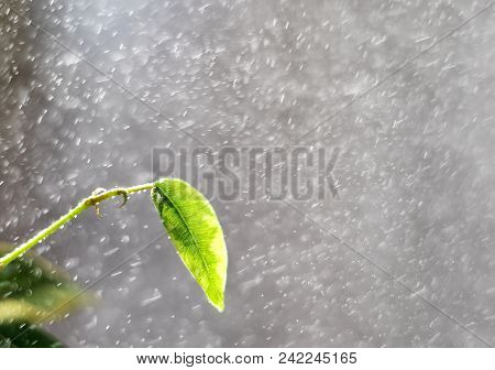 Spring Rain. Rain On Long Exposure. Spring Leaves And Drops Of A Rain. Spring Leaves On Trees. Green