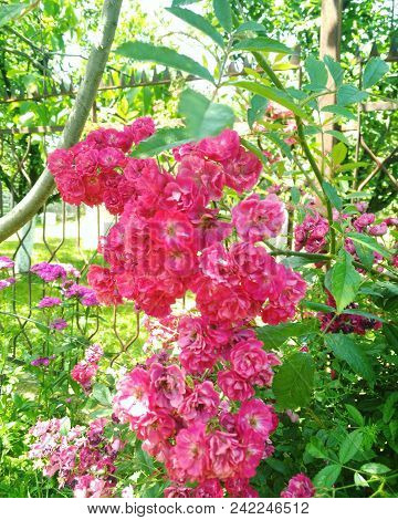 Flower In Garden On Sunny Summer Or Spring Day. Lovely Pink Flower In Nature. Colorful Flower For Po