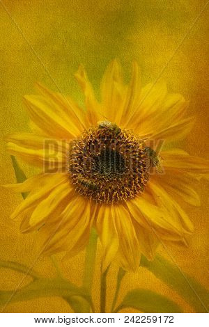 Sunflower And Honey Bees - Texturised And Created From One Of My Original Photographs