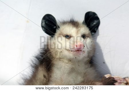 North American Opossum. Dead Opossum.  isolated on white. Room for text.