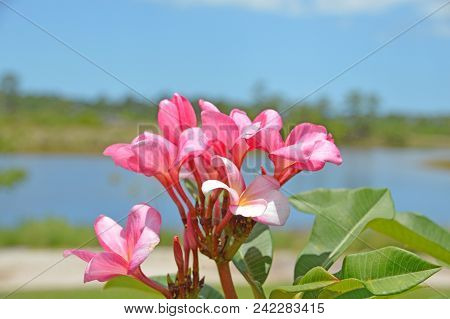 A Blooming Pink Flower With A Lake In The Backgroun