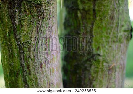 Acer Rufinerve Trunk. Botanical Garden In Poland, Wroclaw