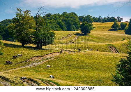Mountain Road Uphill Along The Forest. Beech Tree Stand Separately On The Grassy Meadow. Cows Grazin