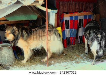 Two Mongrel Dogs Standing In A Handcrafted Messy Kennel