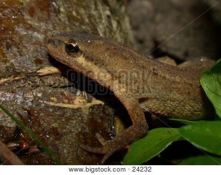 Smooth Newt