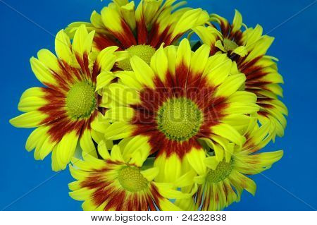 Bright Yellow Chrysanthemum Closeup