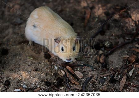 Close-up Of Beige Domestic Guinea Pig (cavia Porcellus) Cavy. Photography Of Nature And Wildlife.