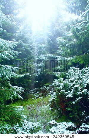 Dense Green Forest With Fir Trees After First Snow In Year. Weak Rays Of Sun Make Their Way Between