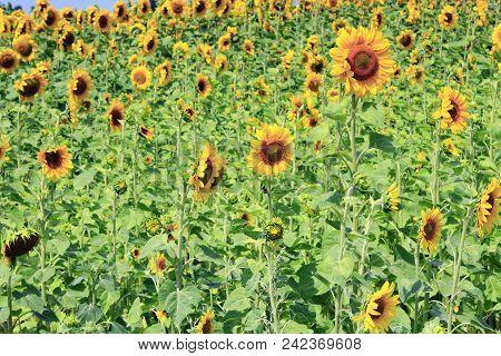 Field Of Blooming Sunflowers. Sunflower Field. Ripe Sunflowers Field In Summer