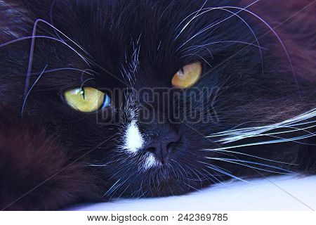 Muzzle Of Black Cat Close Up Laying. Domestic Pet Having A Rest. Domestic Animal. Black Cat Sleeping