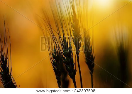 Barley In Sunset Light Use For Background