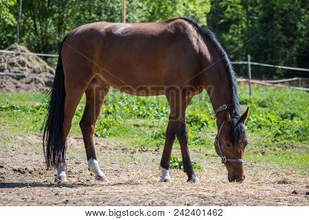 The Brown Hanoverian Horse In The Bridle Or Snaffle On The Pasture Or Grassland With The Green Backg