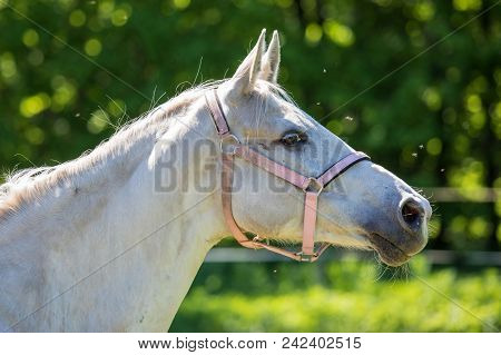 The Head Of White Hanoverian Horse In The Bridle Or Snaffle Attacked By The Swarm Of Flies And Mosqu