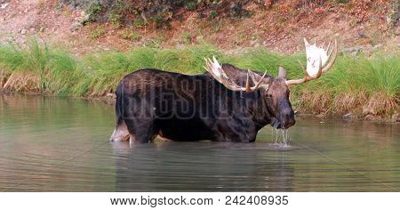 Adult Shiras Bull Moose Walking Near Shore Of Fishercap Lake On The Swiftcurrent Hiking Trail In The