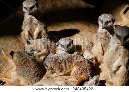 Relax Of Wild African Meerkat (suricata Suricatta) Family. Some Sleep And Some Enjoy The Sun. Photog