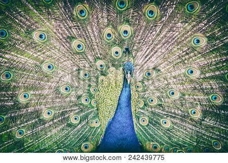 Indian Peafowl - Pavo Cristatus Displaying. Animal Scene. Beauty In Nature. Analog Photo Filter With