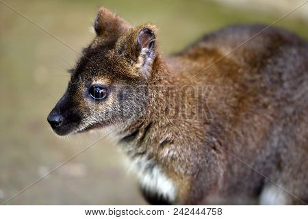 Portrait Of Young Kangaroo Joey. Photography Of Nature And Wildlife.