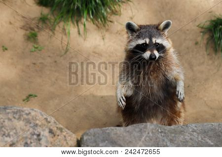 Portrait Of Adult Common Raccoon, Standing And Looking. Photography Of Nature And Wildlife.
