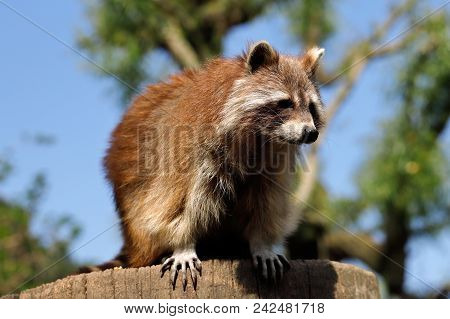 Portrait Of Adult Common Raccoon On The Tree Trunk. Photography Of Nature And Wildlife.