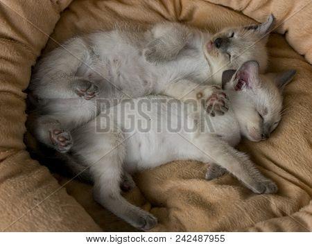Siesta: Two Sleeping Cream Colored Siamese Kittens