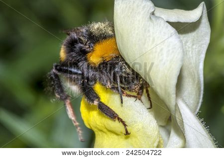 Macro Shot Of A Bumblebee (bombus Terrestris) Covered With Pollen, Entering Into A Yellow Flower (an