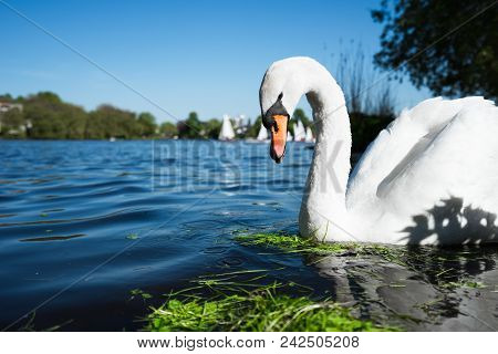 Beautiful Cute White Grace Swan On The Alster Lake On A Sunny Day. White Pleasure Sail Boats Passing
