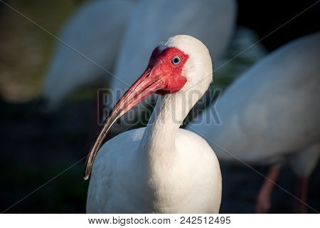 A White Ibis In The Evening Light.