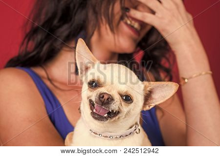 Chihuahua Dog Smiling In Female Hands. Puppy Face With Happy Smile On Red Background. Pet, Companion