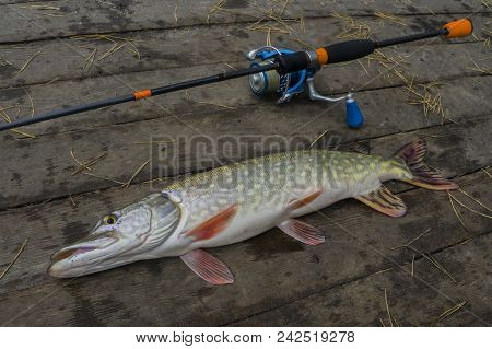 Pike Fish Trophy On Wooden Platform With Fishing Tackles Set