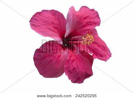 Pink Hibiscus Flower Isolated On White. Objects With Clipping Paths.