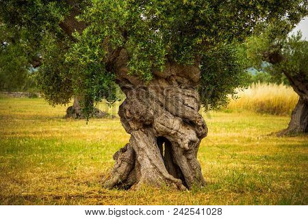 Tree Trunk Of Old Olive Tree In The Apulia Region, Italy