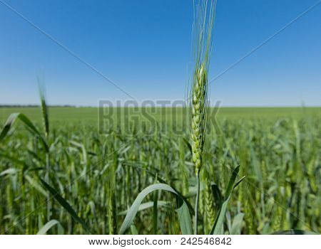 Wheat Spikes Under The Blue Clear Sky On A Clear Sunny Day