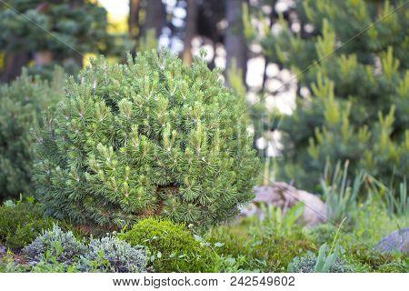 Cultivar dwarf mountain pine Pinus mugo var. pumilio in the rocky garden close up poster