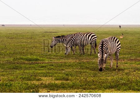 Zebra Species Of African Equids Horse Family United By Their Distinctive Black And White Striped Coa