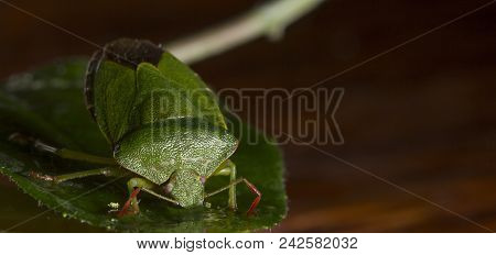 Dolycoris Baccarum, The Sloe Bug, Is A Species Of Shield Bug In The Family Pentatomidae Pest Of Crop