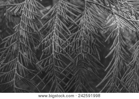 Grey Conifer Tree Twings Texture Can Be Background