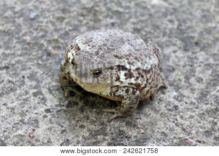 An Example Of Mimicry, The Toad Adapts Its Color To The Color Of The Ground